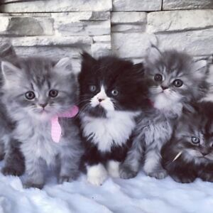 Exceptionnels  Chatons Persans Chinchillas Doll Face Pures Races