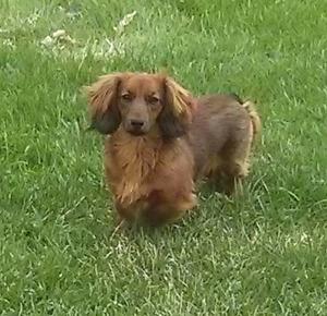 Miniture long hair dachshund