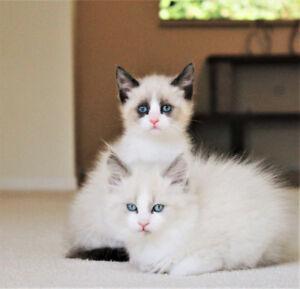 Lilac Bi-Colour Ragdoll kittens for adoption