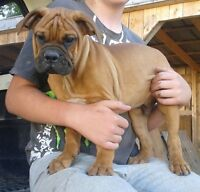 Olde English Bulldogge Pups ONLY 3 LEFT !!