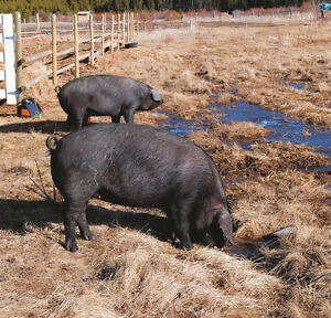 Large black pastured pig herd