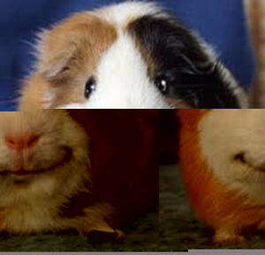 GPS (Guinea Pig Sanctuary) WE HAVE GUINEA PIGS TO ADOPT!!