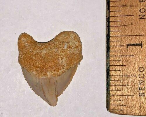 Pristine Pathological Squalicorax Pristodontus Dinosaur Era Shark Tooth