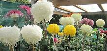 Flowers for Mother's Day  - Chrysanthemums Sorell Sorell Area Preview