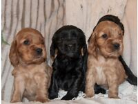 KC registered Show type Cocker Spaniel Puppy for sale