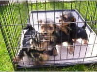 yorkshire terrier puppies boys