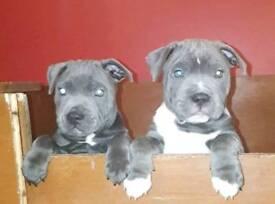 Blue staffy puppy 10 weeks ready to go kc reg, staffordahire