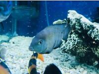 Jade Eye Cichlid Juveniles *only 6 remaining *