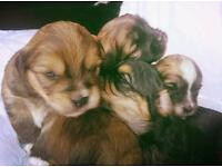 Adorable shih tzu x jack russell pups