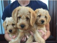 3 Labradoodle Puppies