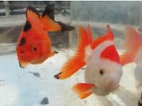 Fantail Goldfish home bred