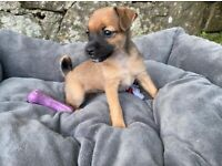 Jack Russell x Jug puppies