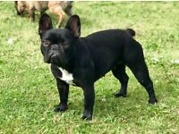 French Bulldog Girl true solid black! a/a carries blue D/b 16months KC Health tested