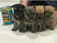 Four beautiful Jackahuahua (chihuahua x Jack Russell) puppies