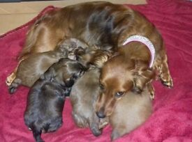 Longhaired dachshund pedigree puppies