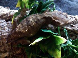 Female crested gecko