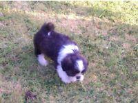miniature shitzu pup