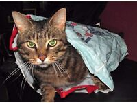 Lost Brown Male Tabby Cat