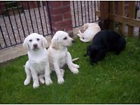 labrador puppies girls