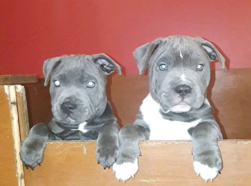 Blue Staffy For Sale : Blue staffy pups staffordshire bull terrier in ahoghill county