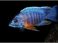 Aulonocara hansbaenschi 'Red Shoulder' Malawi Cichlid.