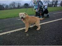 Soft coated wheaten terrier pup for sale