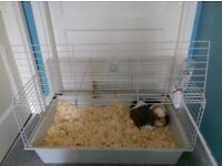 Two child friendly Guinea pigs for sale