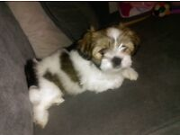 8wk old Lhasa Apso female pup