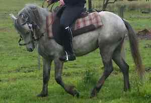 Welsh registered pony 11.3hh. Glenview By Chance Healesville Yarra Ranges Preview