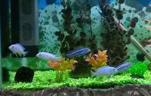 African Cichlids for Sale Noble Park Greater Dandenong Preview