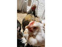 free 8 week old pekin cockerals