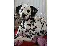 Dalmatian Puppy 7 Months Old