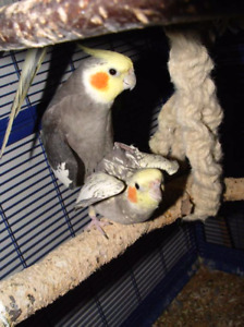 Breeding pairs of cockatiels for sale
