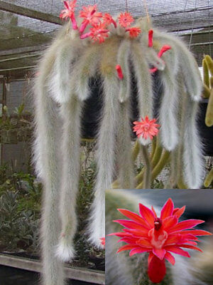 Hildewintera Cleistocactus Colademononis Monkey's Tail Cactus Bonsai