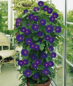 graines de fleurs annuelles ipomee plante grimpante ebay. Black Bedroom Furniture Sets. Home Design Ideas