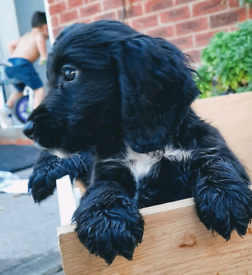 Sprocker spaniel puppies for sale ready now