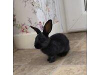 Mini lop x English spot baby rabbits