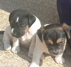 Stunning jug puppies