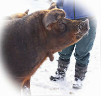 Red wattle and Black Wattle Meat Pigs for sale