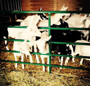 Dairy goats (herds) for sale