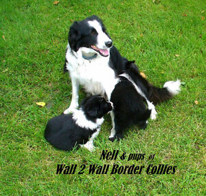 Border Collie: Agility, Search&Rescue, Herding We do it all 4You