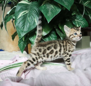 2 Beautiful Male Bengal Kittens from Catzilla Cattery