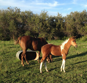 Herd reduction! Selling APHA and AQHA Strathcona County Edmonton Area image 7