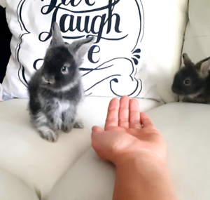 Adorable,  sweet baby lionhead bunnies! Great pets & for kids!