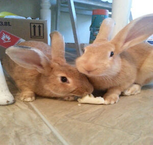 Flemish Giant cross rabbits to a great home