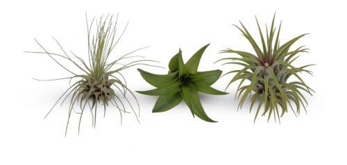 Mini Tillandsia Assortment  3 Pack  Air Plants FREE Shipping