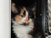 7 Lovely Siberian x kittens