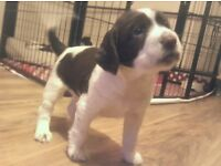 KC Registered English Springer Spaniel Puppies for Sale