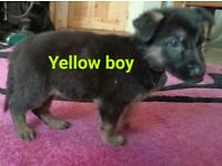 German shepherd puppy available due to cancellation