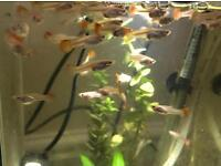 Guppies for sale £1.20 each